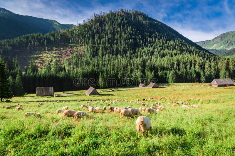 Manada de pasto hermosa de las ovejas en el amanecer, montañas de Tatra imagenes de archivo