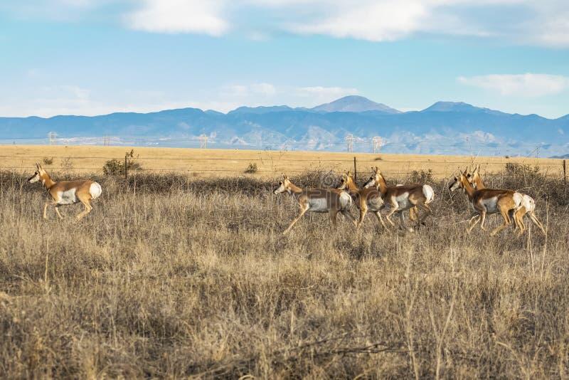 Manada de Pronghorn contra Rocky Mountains fotografía de archivo