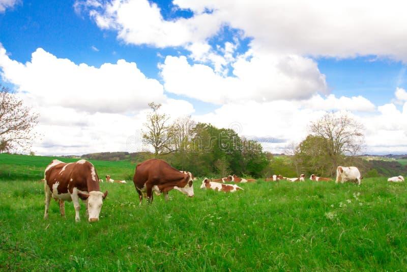 Manada de vaca en un pasto imagenes de archivo