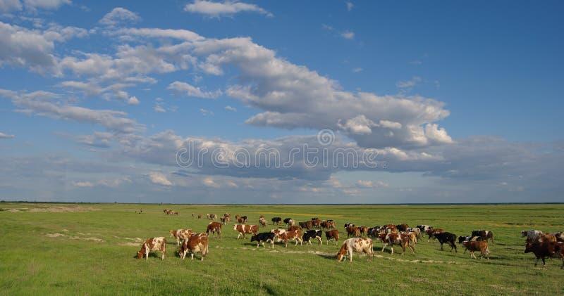 Manada de vacas foto de archivo libre de regalías