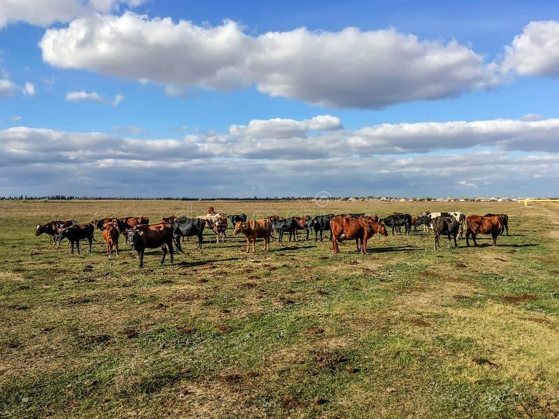 Manada de vacas en la estepa de la estepa de Crimea imágenes de archivo libres de regalías