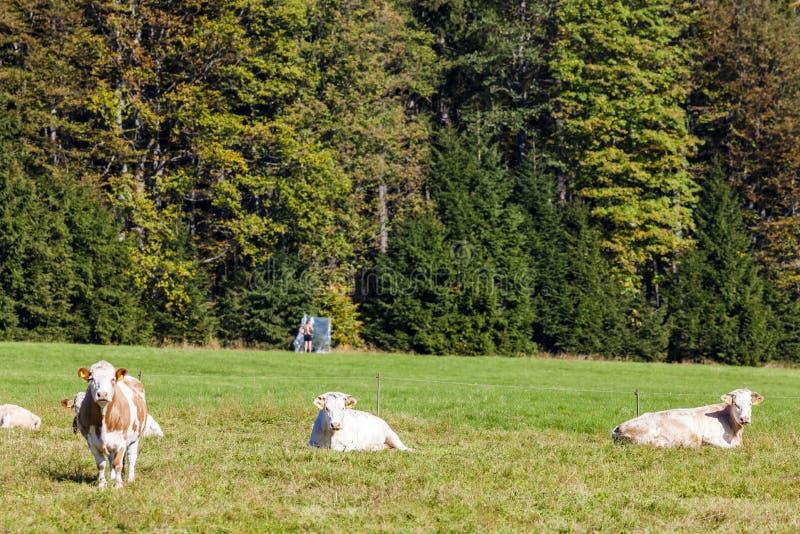 manada de vacas, Sumava, República Checa fotos de archivo