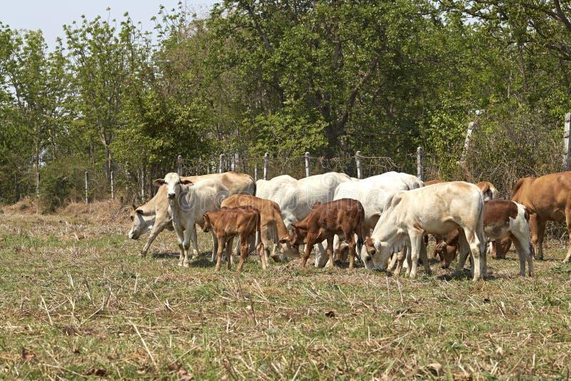 Manada de vacas, Tailandia imagen de archivo