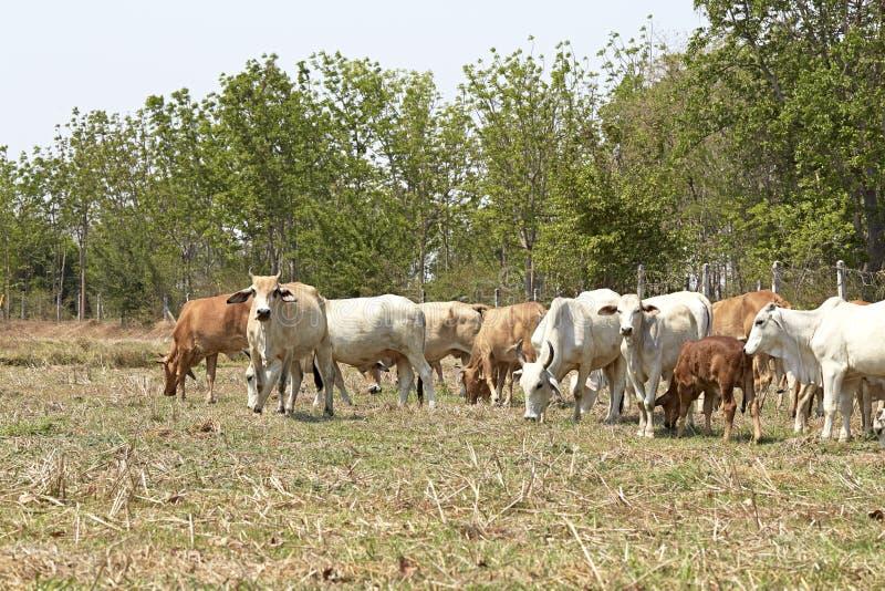 Manada de vacas, Tailandia foto de archivo