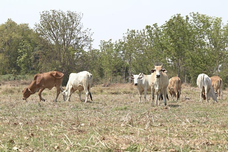 Manada de vacas, Tailandia fotografía de archivo
