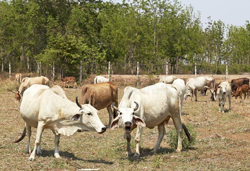 Manada de vacas, Tailandia imagenes de archivo