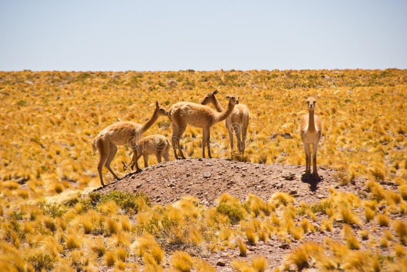 Manada de vicuñas en la pequeña colina en pampa/Chile/Atacama foto de archivo libre de regalías