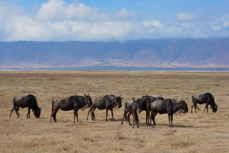 Manada de Wildebeast en el paisaje imponente del cráter de Ngorongoro de Tanzania imagen de archivo