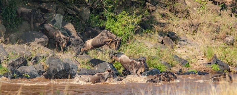 Manada del ñu en una línea para cruzar a Nile River imagenes de archivo