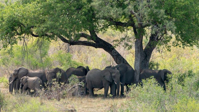 Manada del africana del Loxodonta del elefante africano imagenes de archivo