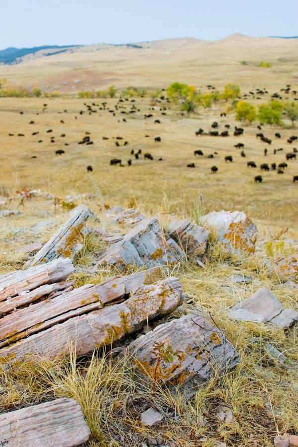 Manada del búfalo o del bisonte imagenes de archivo