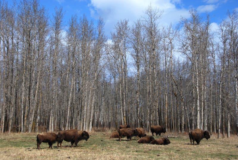 Manada del bisonte fotografía de archivo libre de regalías
