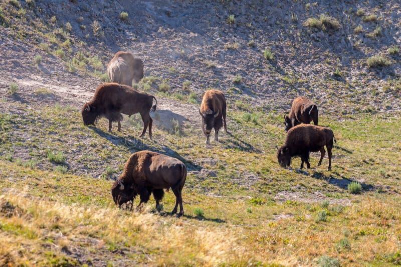 Manada del bisonte que pasta en el parque nacional de Yellowstone imagen de archivo libre de regalías
