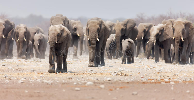 Manada del elefante imagenes de archivo