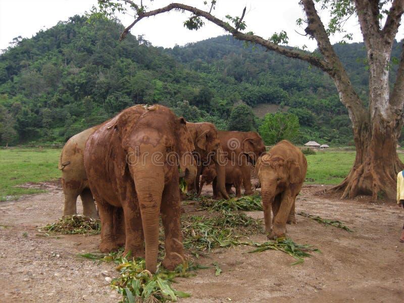 Manada del elefante asiático en un santuario de Tailandia fotos de archivo