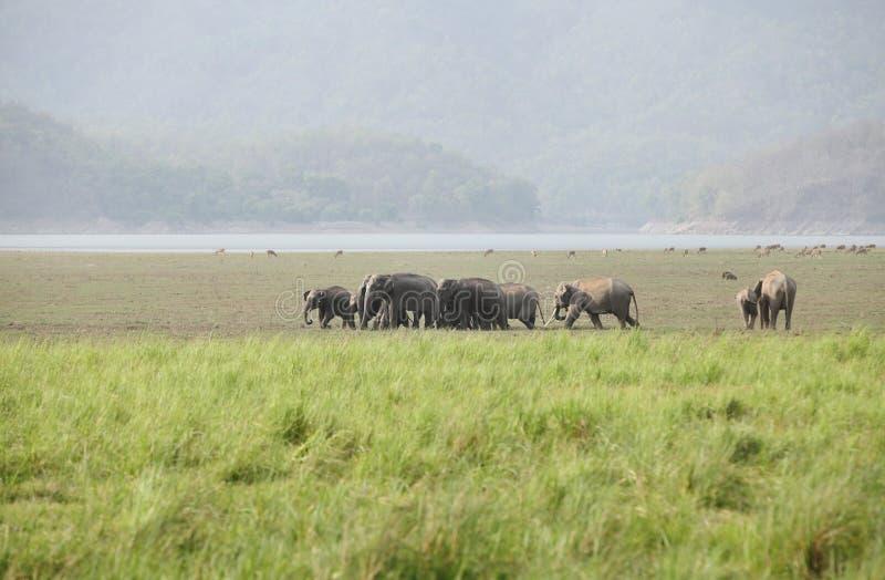 Manada del elefante asiático que se mueve en el prado de Dhikala fotos de archivo libres de regalías