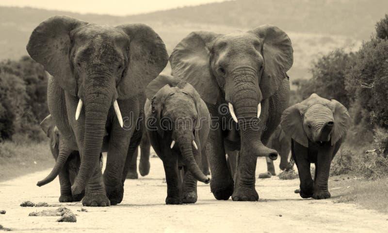 Manada del elefante en Suráfrica fotos de archivo libres de regalías