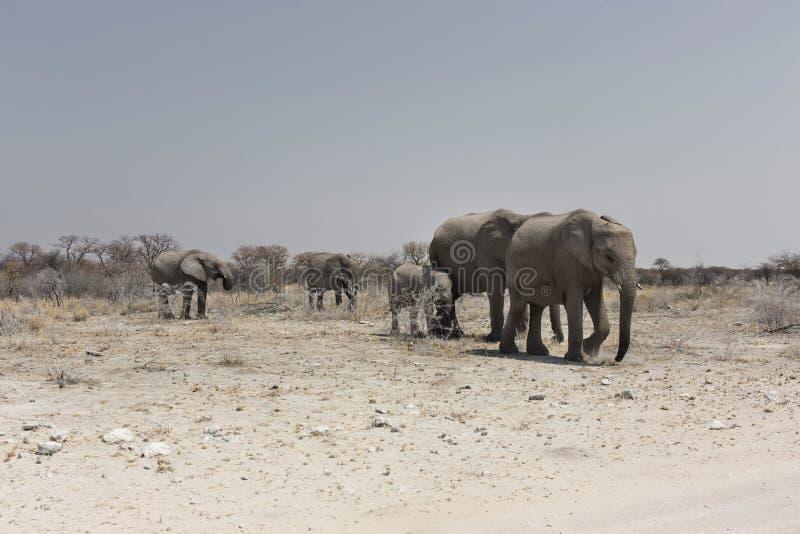 Manada del elefante, parque nacional de Etosha, Namibia fotografía de archivo libre de regalías