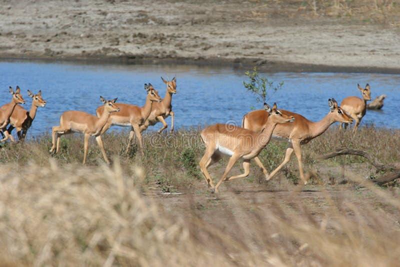 Manada del impala foto de archivo
