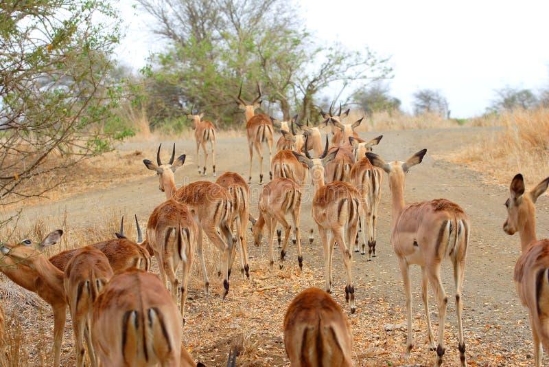 Manada del impala imagen de archivo libre de regalías