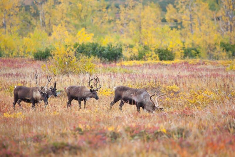 Manada del reno en la tundra en oto?o imagen de archivo