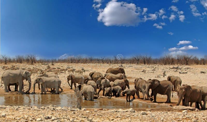 Manada grande de elefantes en un waterhole con un cielo azul vibrante en el parque nacional de Etosha, Namibia fotos de archivo