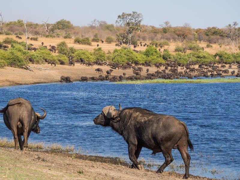 Manada grande de los búfalos de agua que beben del río de Chobe con dos animales en el primero plano, Chobe NP, Botswana, África imagen de archivo libre de regalías