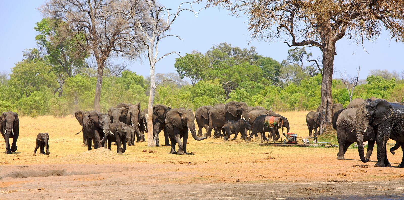 Manada grande de los elefantes que caminan a través de los llanos africanos secos contra un contexto vibrante del bushveld imágenes de archivo libres de regalías