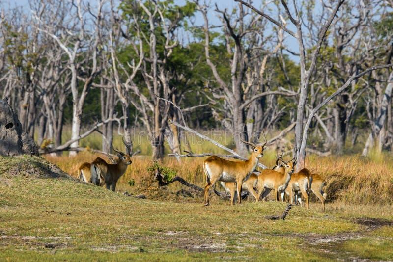 Manada roja del lechwe que se coloca en el bosque imágenes de archivo libres de regalías
