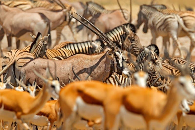Manadas de animales cerca del agujero de agua, Etocha NP, Namibia, África Día caliente soleado en la estación seca en desierto Ge imagen de archivo libre de regalías