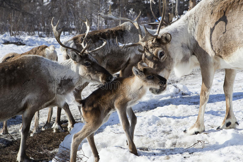 Manadas de ciervos en la nieve fotografía de archivo