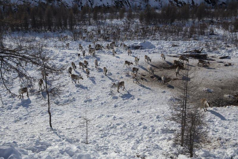 Manadas de ciervos en la nieve fotos de archivo