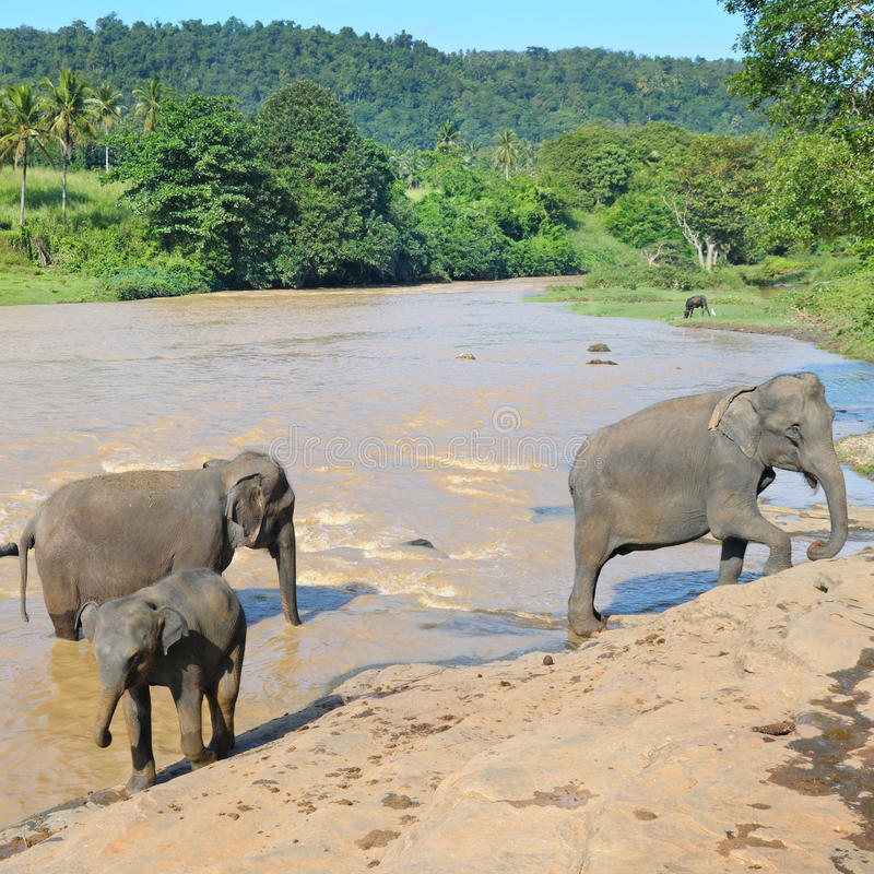 Manadas de elefantes fotos de archivo