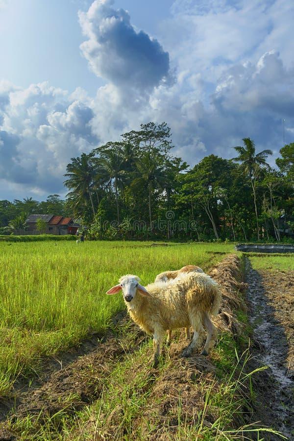 Manadas de la cabra en los campos fotografía de archivo libre de regalías