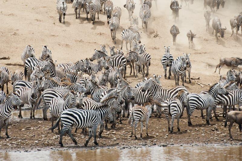 Manadas de la cebra en el Masai Mara, Kenia foto de archivo