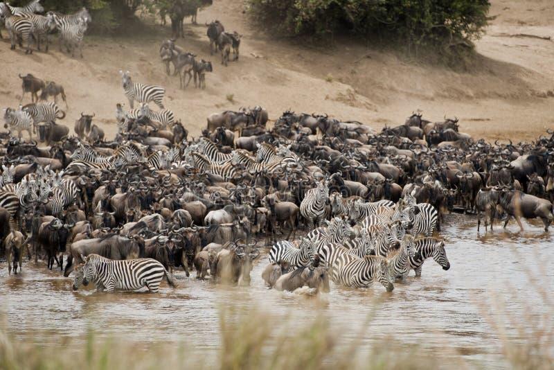 Manadas de la cebra y del ñu en Mara River, Kenia imagenes de archivo