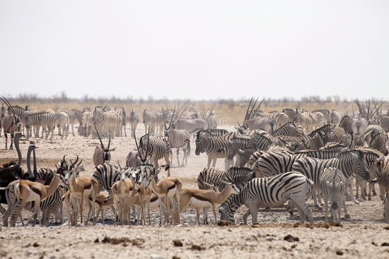Manadas de la cebra y del antílope en el waterhole Etosha, Namibia foto de archivo