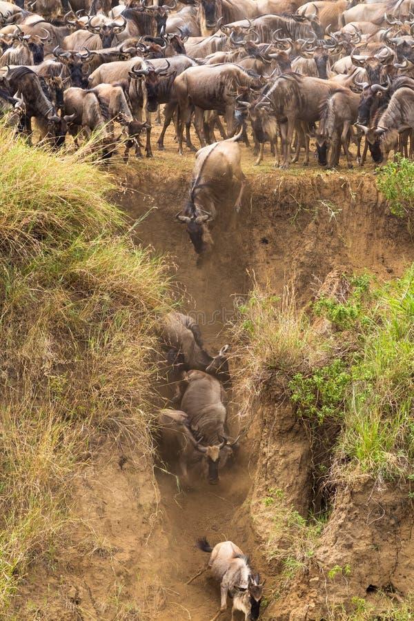Manadas del ñu en Mara River El principio de una gran migración Kenia, África fotos de archivo