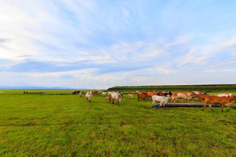Manadas del ganado en el prado imágenes de archivo libres de regalías