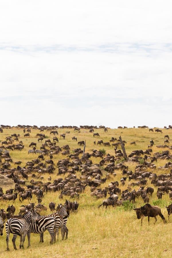 Manadas enormes de ungulates en los llanos de Serengeti Kenia, África imagen de archivo