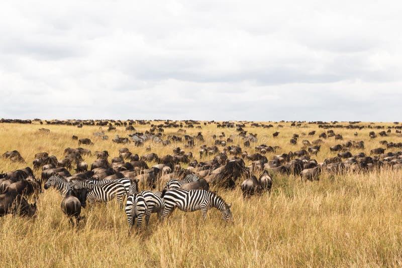 Manadas enormes de ungulates en los llanos de Serengeti Sabana de Mara del Masai Kenia, África imagen de archivo
