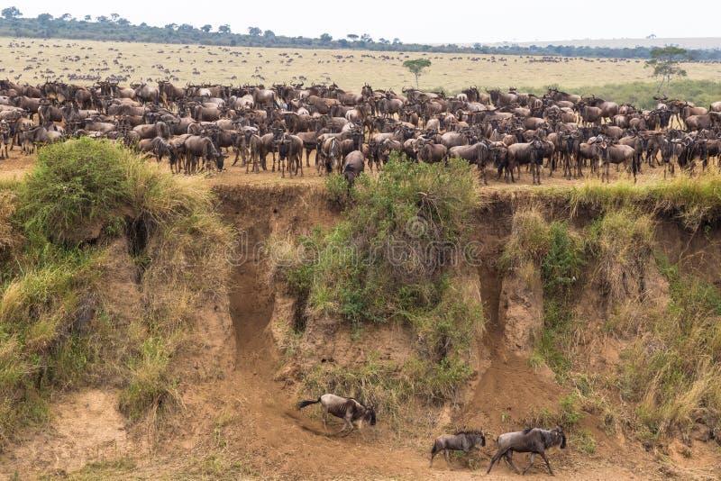 Manadas grandes del ñu Mara River, Kenia imagen de archivo