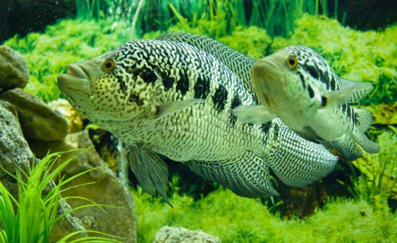 Managuensis de chichlidae de poissons photos stock