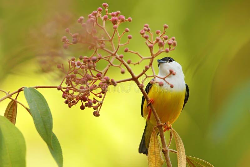 Manakin Blanco-agarrado, candei de Manacus, pájaro bizar raro, Nelize, America Central Pájaro del bosque, escena de la fauna de l fotografía de archivo
