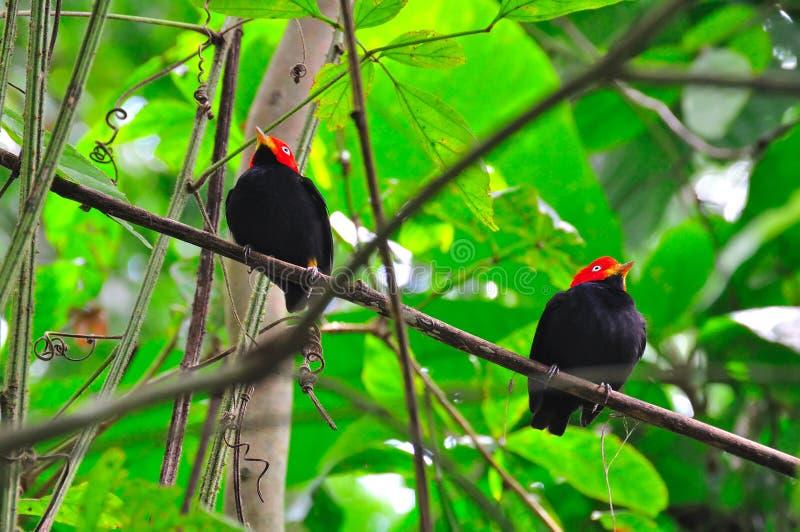 Manakin capsulado rojo, Costa Rica imagenes de archivo