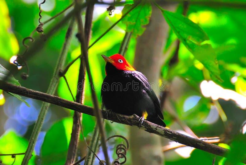 Manakin capsulado rojo, Costa Rica imagen de archivo