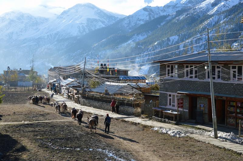 Manang, Nepal. A line of pack mules walking through the village of Manang. With the snow covered Himalayas in the background stock photography