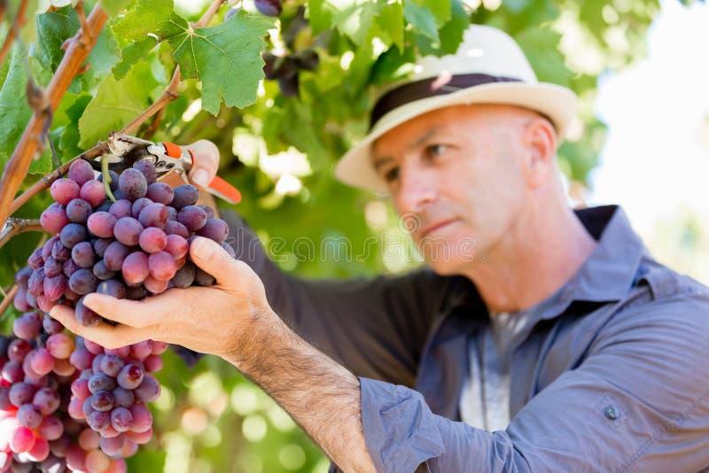 Mananseende i vingård arkivfoto