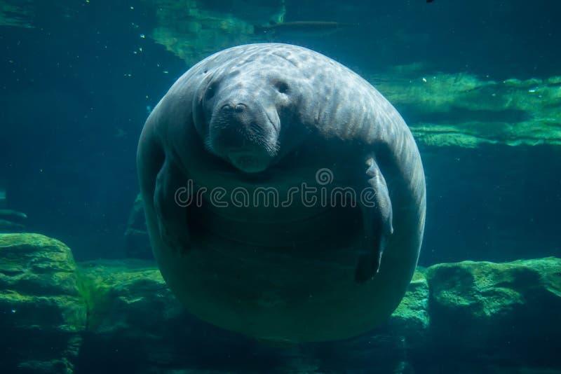 Manatee και ψάρια υποβρύχια σε Seaworld στοκ φωτογραφίες με δικαίωμα ελεύθερης χρήσης