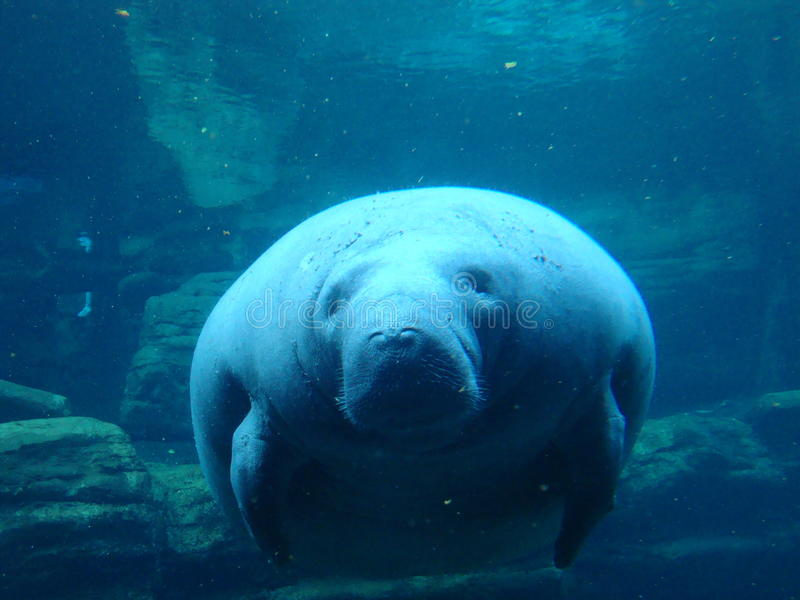 Manatee. Close up of a Manatee gliding under water stock photo